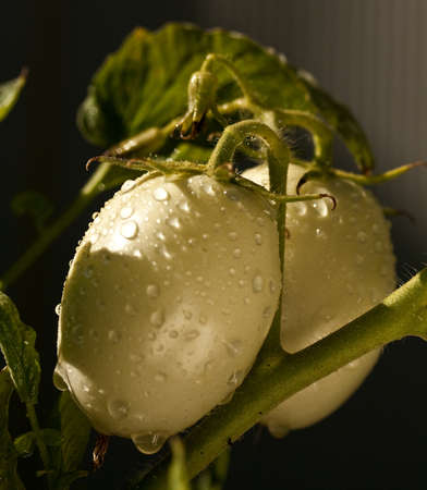 Raindrops on two Roma tomatoes that have yet to ripen into their full glory