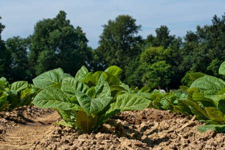 Ground level view of young tobacco plants in July.