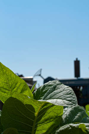 Young healthy tobacco leaves with tractor in background.  Copyspace in blue sky. Stock Photo