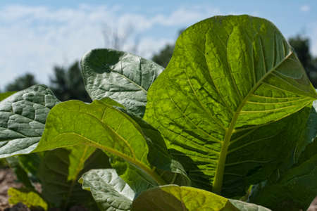 Young tobacco leaves in the morning sun.