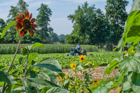 Cultivating in the tobacco plot next to the vegetableflower garden.