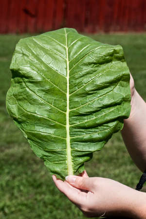 A young leaf of burley tobacco taken in mid July.  When fully grown, some of the leaves are nearly large enough to clothe a person!