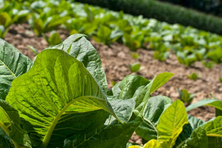 Young tobacco plants with rows behind. Stock Photo