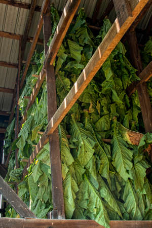 This tobacco, just cut and brought in from the field, will hang in tobacco barns to air cure until it is ready to be stripped by hand off of the stalks, baled and sold.