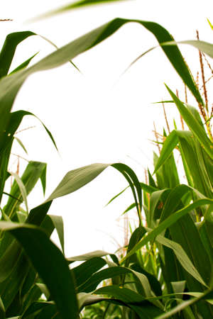 Looking skyward through field corn in the tassel stage. Pollen is produced on the spiky tassels and pollinates the silks. Each pollinated silk produces one kernel of corn.  Corn is wind pollinated, so even garden corn is best planted in blocks, not single Stock Photo