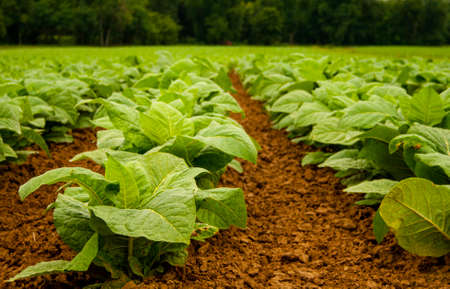 Young tobacco plants in July.  Focus is on front plants and shows the well cultivated, loose soil.