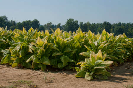 Tobacco plants in western Kentucky ready to cut and house for curing.  Notice that the leaves are starting to turn golden yellow.  During the curing process, the leaves will change to a tan color. Stock Photo