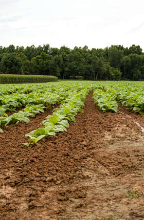 Young tobacco plants showing nicely cultivated soil in foreground with adjacent corn and woods.  In just a few short weeks, these small plants will be shoulder high.