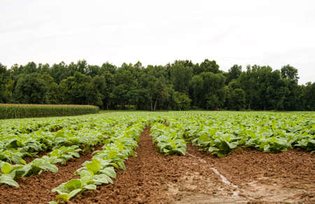 Horizontal image of young tobacco plants. Views like this are not as common as they once were, but tobacco is still an important Kentucky crop. Stock Photo