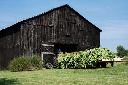A flatbed wagon loaded with tobacco on sticks which will be handed up into the rafters of this barn for air curing.  The workers climb into the rafters and then hand the sticks up to each other till the barn is full from the top down. August in western Ke