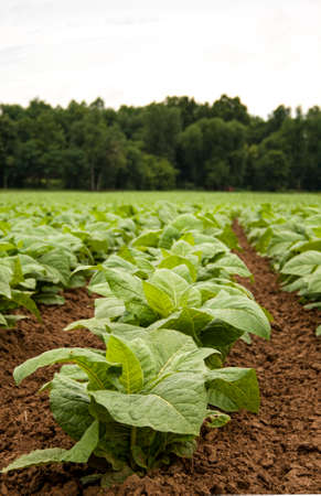 Vertical image of young tobacco plants with the focus on the front showing well cultivated fertile soil.