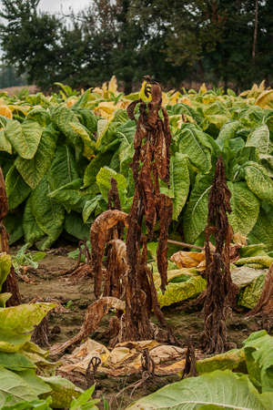 A tobacco plant killed by disease adjacent to others which have not been affected.