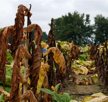 Tobacco plants in the test plot that have been claimed by disease. Stock Photo