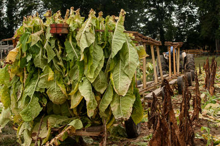 Harvest in the small test plot where the various tobacco diseases are being studied. Stock Photo