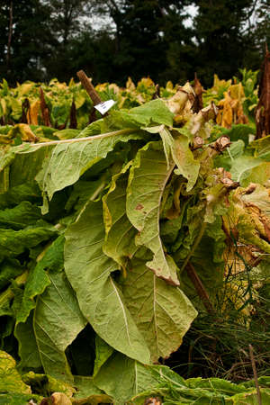 Tobacco plants in the test plot ready to be taken to the barn to cure. Stock Photo
