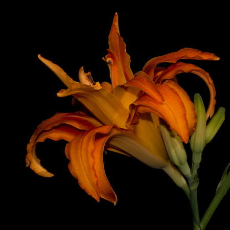 An orange daylily isolated against a black background.