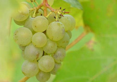 macro, bunch of yellow grapes Zdjęcie Seryjne