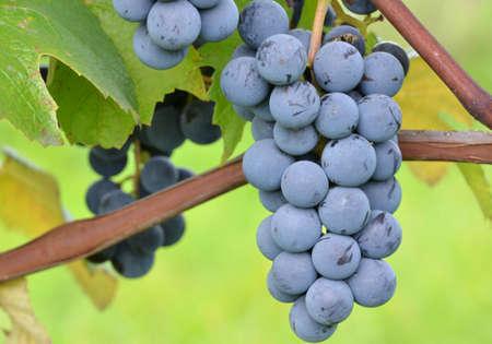 macro, bunch of red grapes Zdjęcie Seryjne