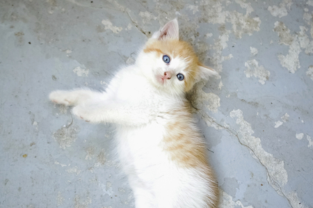 Cute Orange and White Kitten on Blue Grey Background