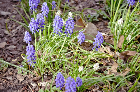 Perennial Grape Hyacinth Purple Flowers Blooming Among Brown Leaves