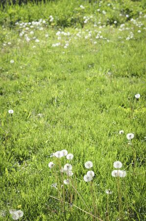 Puffy White Dandelions in the Green Grass Background Banco de Imagens