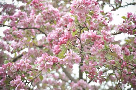 Pink Apple Blossoms in Springtime