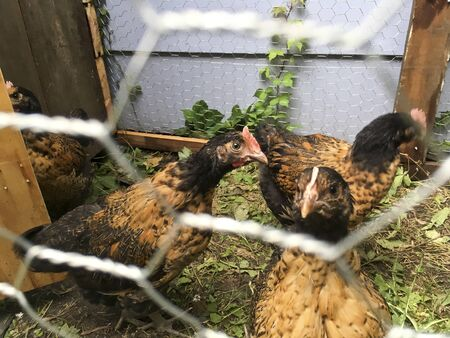 Brown Chickens in a Pen
