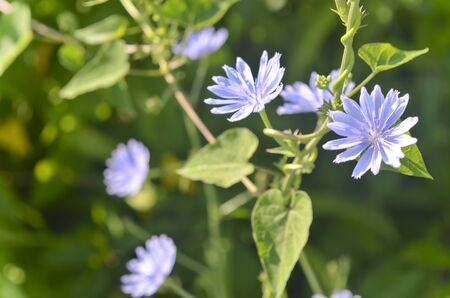Close Up of Chicory Flowers