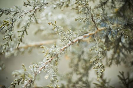 Ice Covered Cedar Branches
