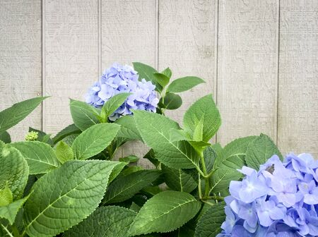 Blue Hydrangea Plants against a Tan Wall
