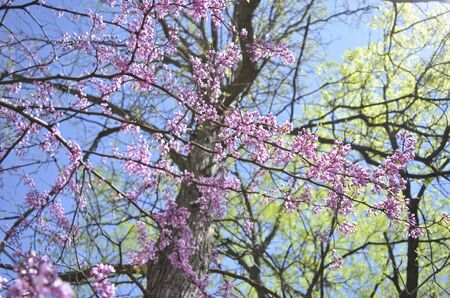Spring Redbud Tree with Blue Sky