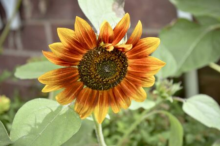 Red Orange Sunflower with Brick Wall Banco de Imagens
