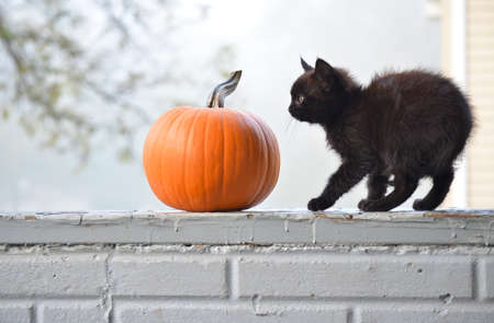 Cute Spooky Black Kitten with a Halloween Pumpkin