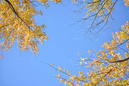 Blue Sky with Yellow Fall Trees Pointing Inward from the Edges Banco de Imagens