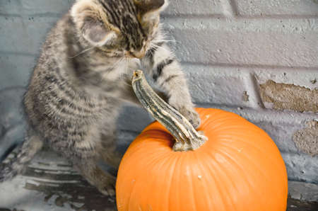 Tabby Kitten Playing with a Pumpkin