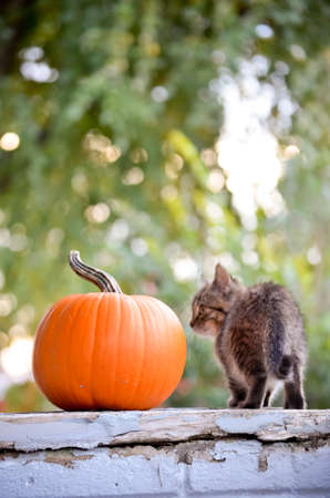 Kitten with Pumpkin on Green Outdoor Background