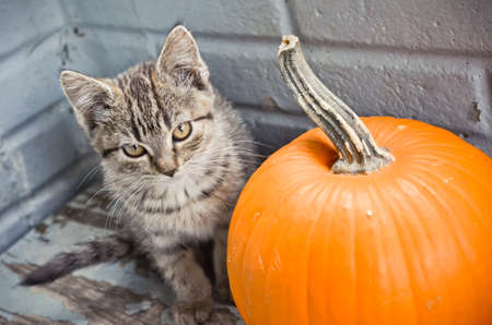 Tabby Kitten Sitting Beside a Pumpkin