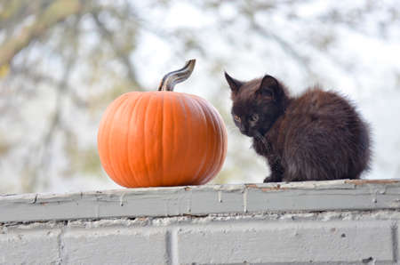 Tiny Black Kitten Sitting Beside a Pumpkin