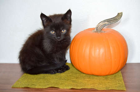 Cute Black Kitten with Halloween Pumpkin