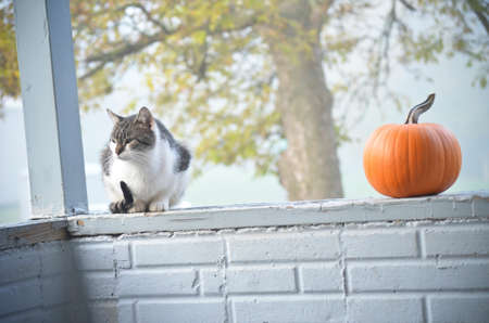 Gray and White Adult Cat Sitting Several Feet away from a Pumpkin Banco de Imagens