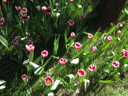 tulip Stockfoto