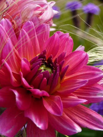 roze: Rose