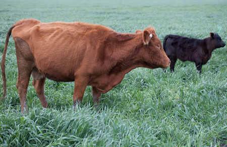 Brown Angus cattle with black calf