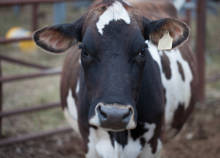 Jersey cow portraitdairy cattle on a farm Stock Photo