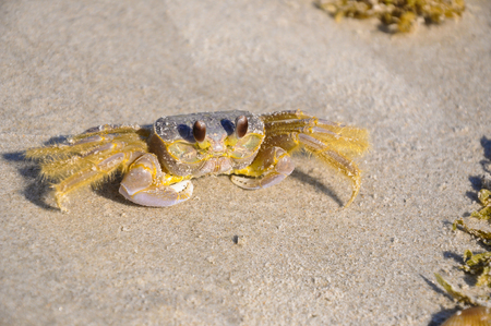Atlantic ghost crab - Ocypode quadrata (sand crab) - sitting on beach sand on a bright sunny day