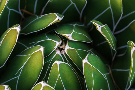 Detail of Agave victoriae-reginae (Queen Victoria agave, royal agave), a small species of succulent plant noted for its streaks of white on sculptured geometrical leaves, and popular as an ornamental