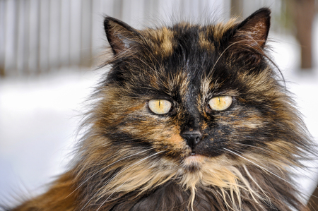 Portrait of beautiful long hair tortoiseshell cat with yellow eyes 写真素材