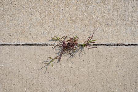 Grass/vegetation growing beetwn two concrete pavement slabs