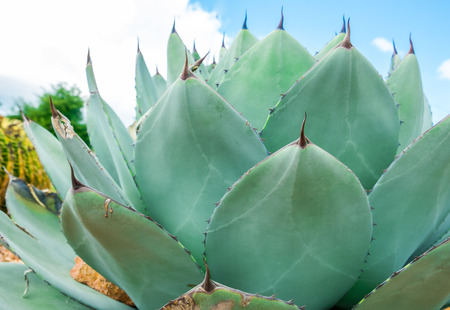 View of growing Agave Parryi Truncata plant, also known as Artichoke Agave