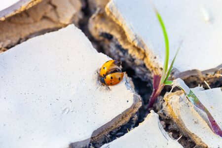 Dead ladybug cought in dried , cracked earth. Drought and climate change danger concept